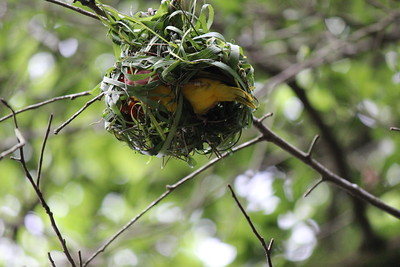 It took that red leaf back to it's nest.  Taveta Golden Weaver