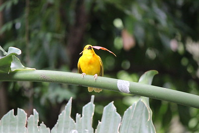 I loved this picture of the Taveta Golden Weaver with the red leaf in its beak.