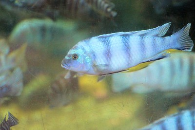 this could be a Lake Victoria Cichlids