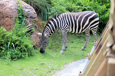 This zebra was right next to the road.  They stopped the bus so we could get some pictures.
