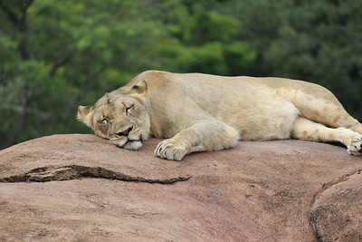 Wimoweh, wimoweh, wimoweh, wimoweh In the jungle, the mighty jungle  The lion sleeps tonight  In the jungle, the quiet jungle  The lion sleeps tonight.......
