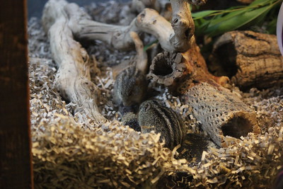 Barbary striped grass mice