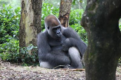 Big Silverback gorilla