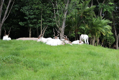 addax (Addax nasomaculatus), also known as the white antelope and the screwhorn antelope,