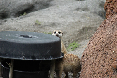 Meerkat- you still looking at me????