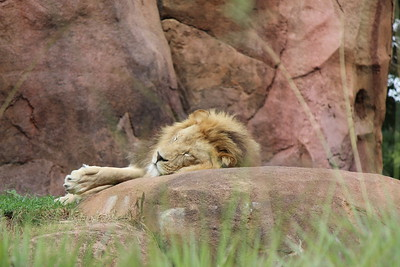 ......Near the village, the peaceful village  The lion sleeps tonight  Near the village, the quiet village  the lion sleeps tonight