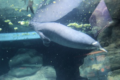 """Manatees (family Trichechidae, genus Trichechus) are large, fully aquatic, mostly herbivorous marine mammals sometimes known as sea cows. They measure up to 13 feet (4.0 m) long, weigh as much as 1,300 pounds (590 kg), and have paddle-like flippers. The name manatí comes from the Taíno, a pre-Columbian people of the Caribbean, meaning """"breast"""".["""