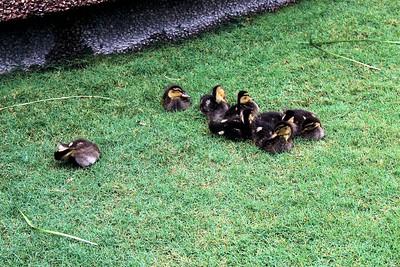 Real live action Disney baby ducks.