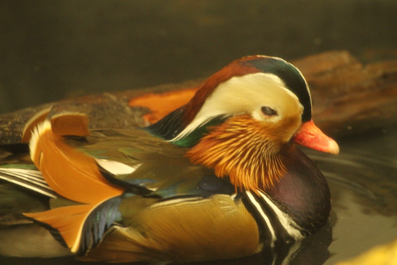 Mandirun Duck
