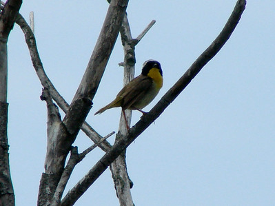 June 24, 2010 - (Bombay Hook National Wildlife Refuge [on road above Shearness Pool] / Leipsic, Kent County, Delaware) -- Male Common Yellowthroat