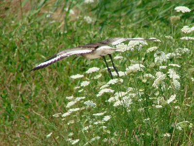 June 24, 2010 - (Bombay Hook National Wildlife Refuge [on road above Shearness Pool] / Leipsic, Kent County, Delaware) -- Willet in flight