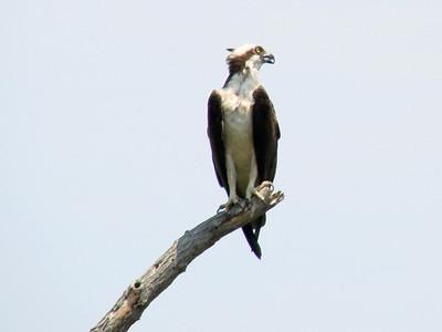June 24, 2010 - (Bombay Hook National Wildlife Refuge [across from Shearness Pool] / Leipsic, Kent County, Delaware) -- Osprey