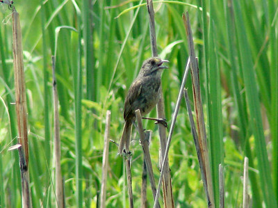 "June 24, 2010 - (Bombay Hook National Wildlife Refuge [Raymond Pool / Boardwalk Trail] / Leipsic, Kent County, Delaware) -- ""Atlantic"" Seaside Sparrow"