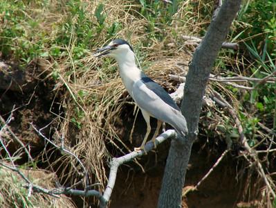 June 24, 2010 - (Bombay Hook National Wildlife Refuge [across from Shearness Pool] / Leipsic, Kent County, Delaware) -- Black-crowned Night Heron