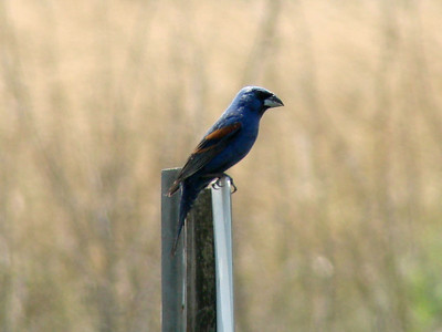 June 24, 2010 - (Bombay Hook National Wildlife Refuge [near visitor center] / Leipsic, Kent County, Delaware) -- Blue Grosbeak
