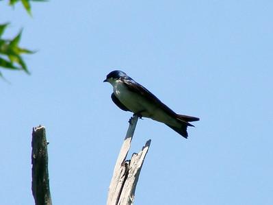 June 24, 2010 - (Bombay Hook National Wildlife Refuge [Raymond Pool / Boardwalk Trail] / Leipsic, Kent County, Delaware) -- Tree Swallow