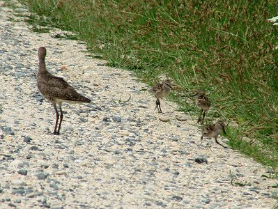 June 24, 2010 - (Bombay Hook National Wildlife Refuge [on road above Shearness Pool] / Leipsic, Kent County, Delaware) -- Willet with chick