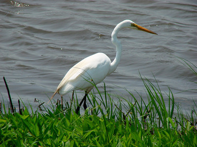 June 24, 2010 - (Bombay Hook National Wildlife Refuge [Shearness Pool] / Leipsic, Kent County, Delaware) -- Great Egret