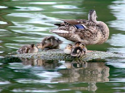 June 23, 2010 - (National Mall [Reflecting Pool] / Washington D.C.) -- Mallard with ducklings