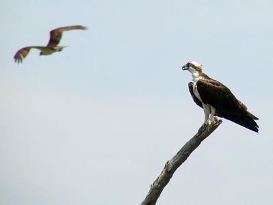 June 24, 2010 - (Bombay Hook National Wildlife Refuge [across from Shearness Pool] / Leipsic, Kent County, Delaware) -- Two Ospreys