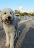 Dexter the poodle