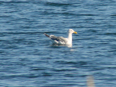 October 4, 2009 - (Protection Island / Ocean Shores, Grays Harbor County, Washington) -- Glaucous-winged Gull