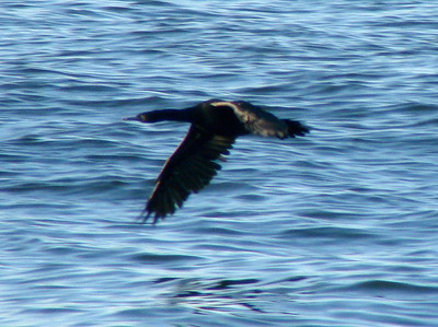October 4, 2009 - (Protection Island / Ocean Shores, Grays Harbor County, Washington) -- Pelagic Cormorant