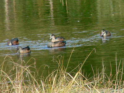 October 3, 2009 - (Nisqually National Wildlife Refuge / Lacey, Thurston County, Washington) -- American Wigeon