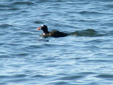 October 4, 2009 - (Protection Island / Ocean Shores, Grays Harbor County, Washington) -- Male Surf Scoter