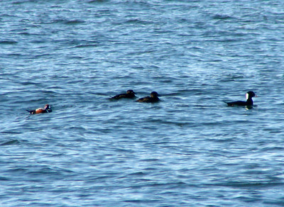 October 4, 2009 - (Protection Island / Ocean Shores, Grays Harbor County, Washington) -- Male Surf Scoter in the lead followed by two female Surf Scoters, and a lone male Harlequin Duck trailing