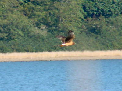 October 4, 2009 - (Grays Harbor National Wildlife Refuge / Hoquiam, Grays Harbor County, Washington) -- Northern Harrier