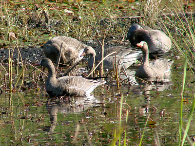 October 3, 2009 - (Nisqually National Wildlife Refuge / Lacey, Thurston County, Washington) -- Greater White-fronted Geese / juvenile in the center