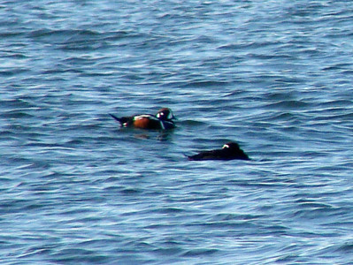 October 4, 2009 - (Protection Island / Ocean Shores, Grays Harbor County, Washington) -- Surf Scoter and male Harlequin Duck