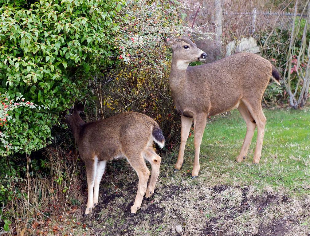 Deer feeding on winter berries near Port Townsend WA