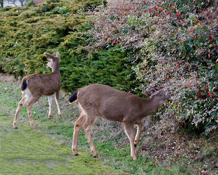 Deer feeding on winter berries near Port Townsend WA, December 2011
