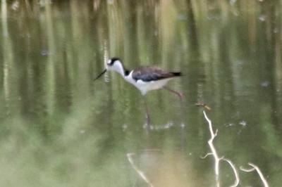Black-necked Stilt @ Rio Bosque Wetlands Park