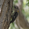 Golden-fronted Woodpecker @ Cottonwood Campground