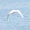 Snowy Egret @ McNary Reservoir