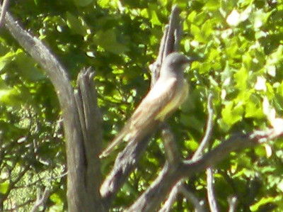 Cassin's Kingbird @ McKittrick Canyon Trail