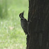 Ladder-backed Woodpecker @ Cottonwood Campground