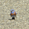 Western Bluebird @ Lawrence Wood Picnic Area