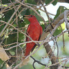 Summer Tanager @ Cottonwood Campground