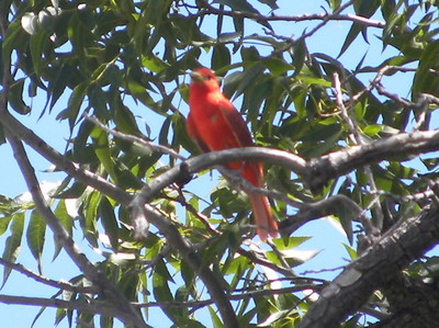 Summer Tanager @ Frijole Ranch History Museum