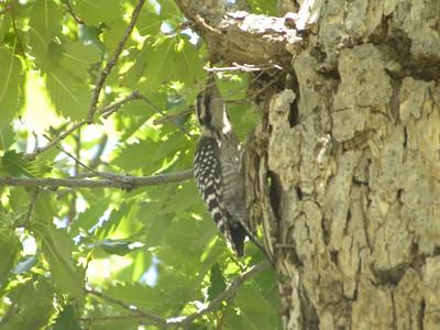 Ladder-backed Woodpecker @ Frijole Ranch History Museum