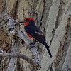 Vermillion Flycatcher @ Cottonwood Campground