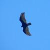 Turkey Vulture @ Nature Conservancy's Davis Mountains Preserve