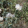 Prickly Poppy (Argemone Mexicana) @ Chihuahuan Desert Research Institute