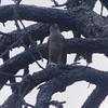 Cooper's hawk @ Lawrence Wood Picnic Area