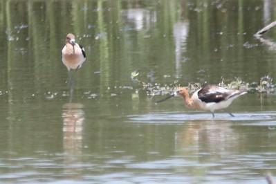 American Avocets @ Rio Bosque Wetlands Park