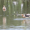 American Avocets @ Rio Bosque Wetlands Park